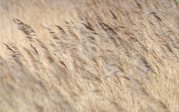 Reed. Detail of some flowering reed and grass plants with ripe seeds bending in the wind Royalty Free Stock Photography