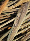 Reed with dew Stock Images