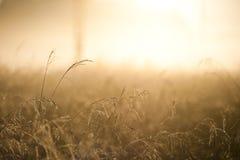 Reed dorato in un fascio di luce solare Fotografia Stock