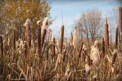 Reed. Dry reed and autumn day stock image