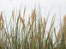 Reed on a dune stock photo