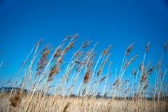 Reed e cielo blu dorati Fotografie Stock Libere da Diritti