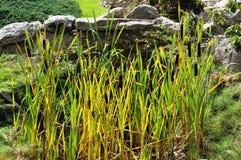 Reed in einem Garten Lizenzfreie Stockbilder