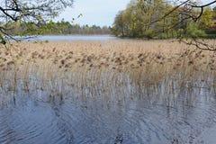 Reed in einem See in Nord-Polen mit Baumasten an einem sonnigen Tag im Frühjahr Stockfotografie