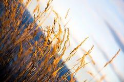 Reed em Kaikoura Fotografia de Stock