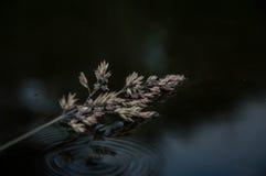 Reed en el agua Fotografía de archivo libre de regalías
