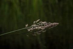Reed en el agua Imagenes de archivo