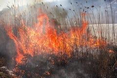 Reed en el fuego Desastre natural Un cierre para arriba de la llama del brushfire imagenes de archivo