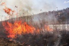 Reed en el fuego Desastre natural Un cierre para arriba de la llama del brushfire imagen de archivo libre de regalías
