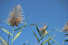 Reed en el lago Bosten Foto de archivo