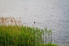 Reed en el paisaje Polonia del lago Imagen de archivo