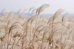 Reed en el viento Imagenes de archivo