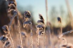 Reed en la luz de la puesta del sol, paisaje del invierno Foto de archivo