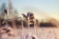 Reed en la luz de la puesta del sol, paisaje del invierno Imagen de archivo