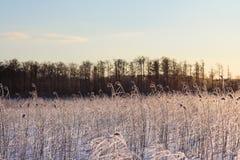 Reed en la luz de la puesta del sol, paisaje del invierno Fotografía de archivo libre de regalías