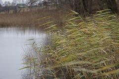 Reed en la orilla del lago Fotos de archivo