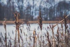 Reed en la orilla del lago Foto de archivo