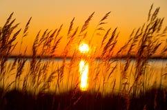 Reed en la puesta del sol Fotografía de archivo libre de regalías
