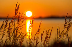Reed en la puesta del sol Fotos de archivo libres de regalías