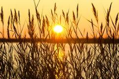 Reed en la puesta del sol Foto de archivo libre de regalías
