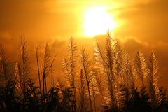Reed en la puesta del sol Imagenes de archivo