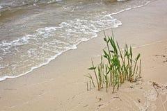 Reed en sable humide sur le bord de la mer Image libre de droits