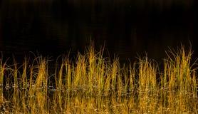 Reed en soleil d'automne Image libre de droits