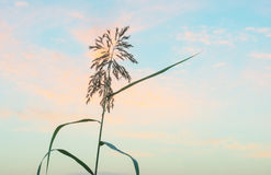 Reed en un campo en la salida del sol Fotos de archivo libres de regalías
