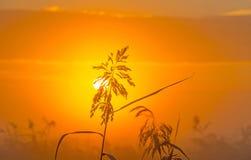 Reed en un campo en la salida del sol Fotografía de archivo