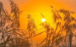 Reed en un campo en la salida del sol Imágenes de archivo libres de regalías