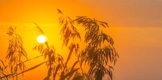 Reed en un campo en la salida del sol Fotos de archivo