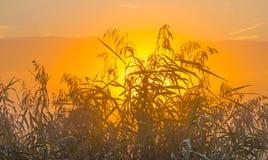 Reed en un campo en la salida del sol Imagenes de archivo