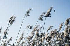Reed en viento contra el cielo azul Fotos de archivo libres de regalías