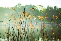 The reed in the evening. Tranquil scene Royalty Free Stock Image