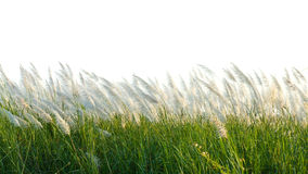 Reed field Royalty Free Stock Image