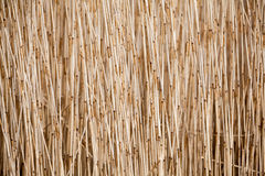 Reed on the field Royalty Free Stock Photography