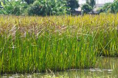 Reed field in swamp Stock Photos