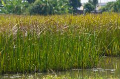 Reed field in swamp Stock Image