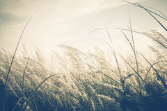 Reed Field Royalty Free Stock Photo
