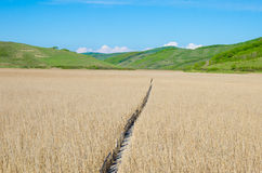 Reed field with a wood path royalty free stock images