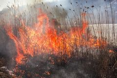 Reed on fire.Natural disaster.A close up of the flame of brushfire. Reed on fire.A close up of the flame of brushfire.Natural disaster stock images