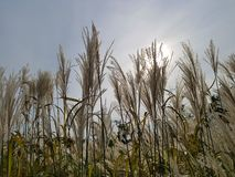 Reed floresce na flor completa na paisagem de Reed Evening do gigante do fundo do céu Fotografia de Stock