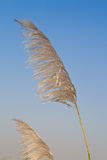 Reed flower blown by the wind Royalty Free Stock Photos
