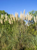 Reed flower and blue sky background Royalty Free Stock Photos