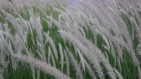Reed flowering with wind force stock footage