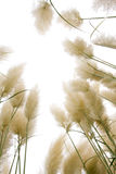Reed flowers. On white background Royalty Free Stock Photo