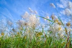 Reed Flowers Royaltyfri Foto
