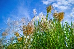 Reed Flowers Royaltyfri Bild
