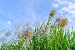 Reed Flowers Royaltyfria Foton