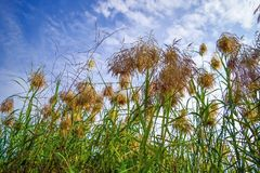 Reed Flowers Royaltyfria Bilder